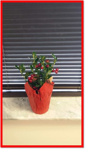 "HOLLY 4"" W/ RED POT COVER"