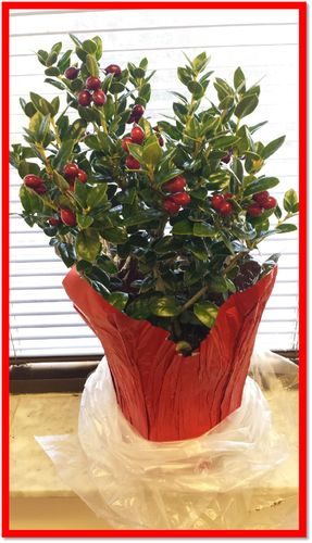 "HOLLY 6"" DECORATED W/ RED POT COVER"