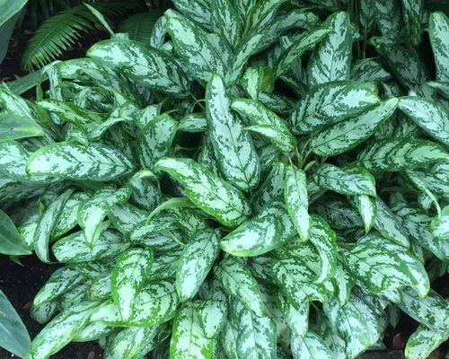 "AGLAONEMA 6"" SILVER QUEEN"