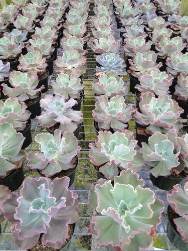 "ECHEVERIA 6"" ASSORTMENT"