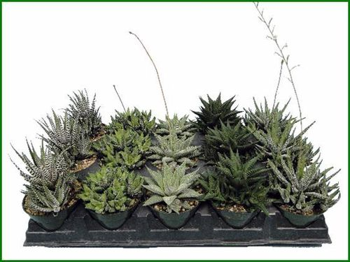 "HAWORTHIA 4"" ASSORTMENT"