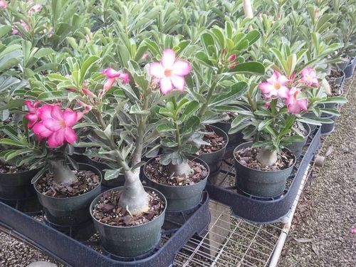 "DESERT ROSE 6"" GRAFTED"
