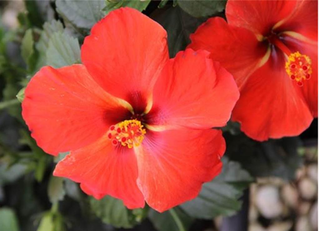 TRADEWINDS_HIBISCUS_RED